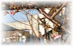 29桜10.jpg
